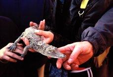 So klein und schon ein Krokodil!