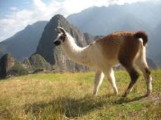 Lama bei Machu Picchu