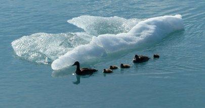 Entenfamilie im Eiswasser - Island
