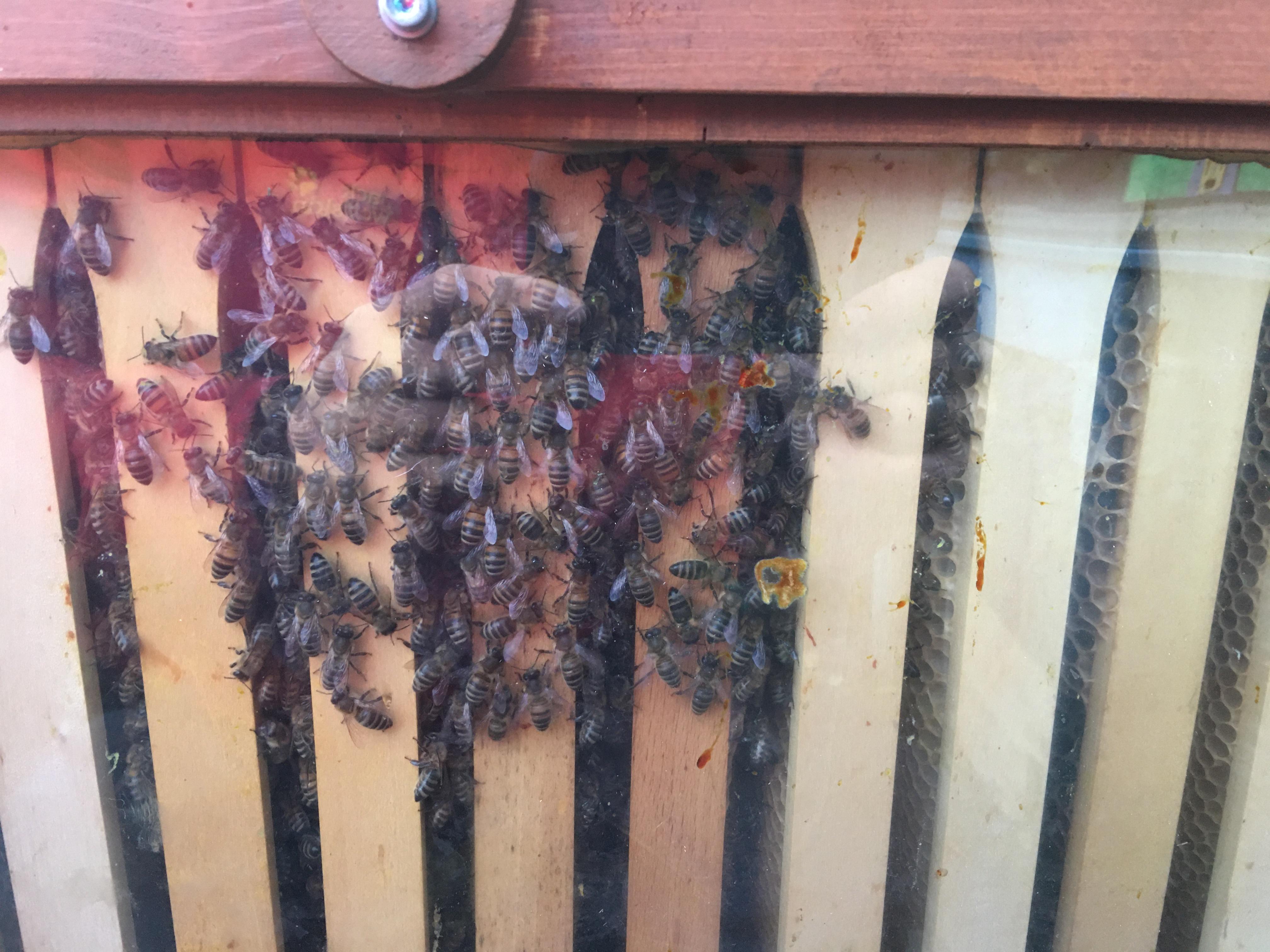 Bienenbox und Wintertraube 5 Waben
