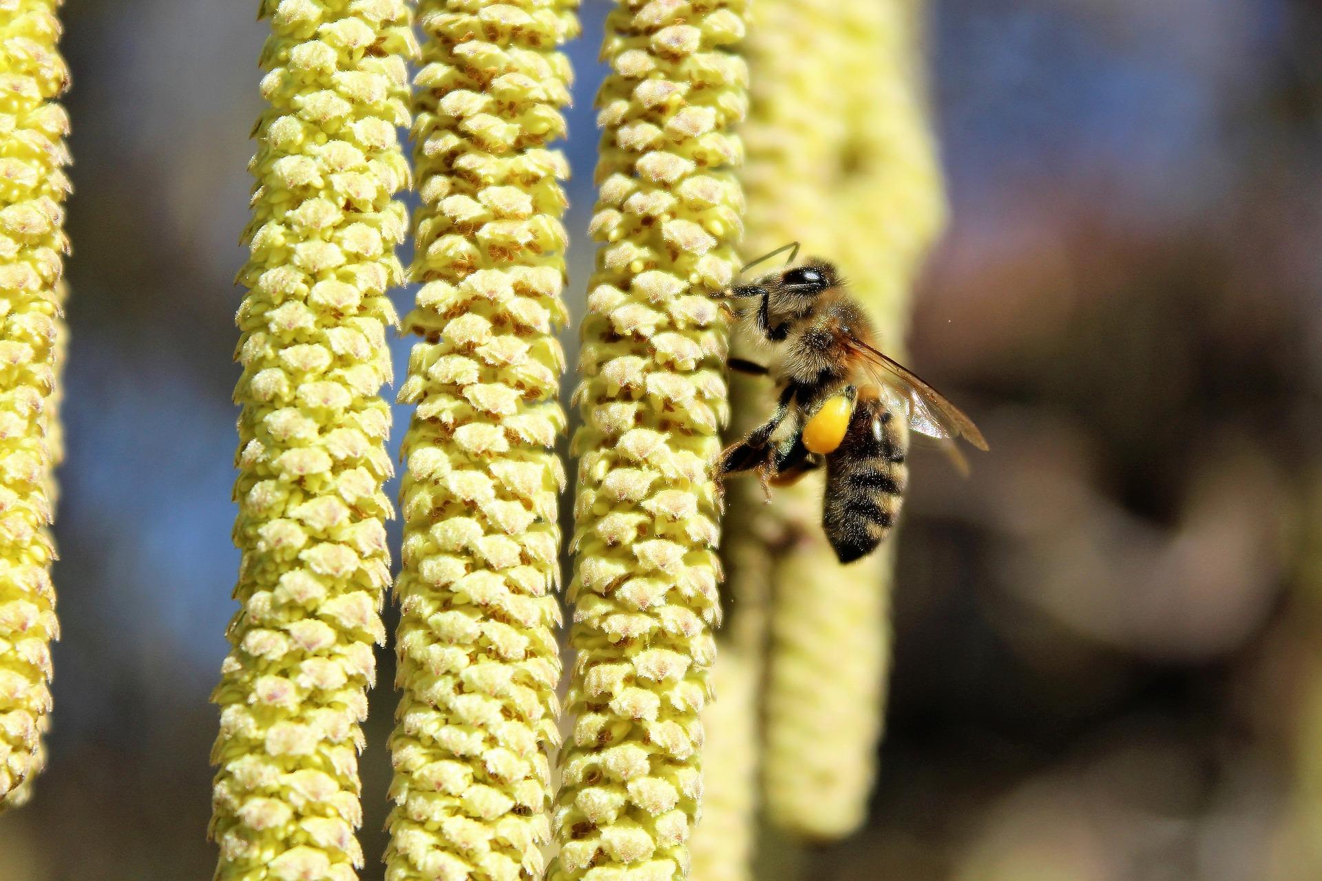 Dadant Völker Haselnuss Biene