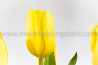 Yellow Tulips - gelbe Tulpen