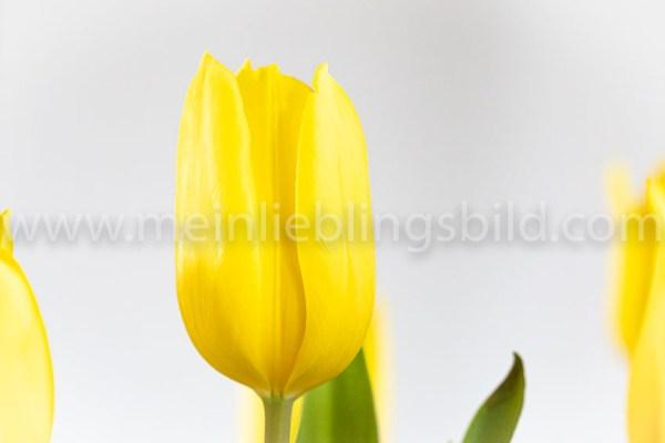 Yellow Tulips - gelbe Tulpen