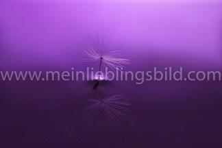 Purple Dandelion, Makro-Aufnahme Löwenzahn