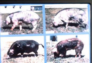 Meishan ,Fenjing, Minzhu and US Duroc Pigs