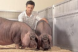 Gary Rohrer USDA USMARC with some young USDA Meishan Gilts.