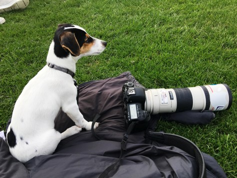 Jack Russel, Canon, fotohund, mejnecke
