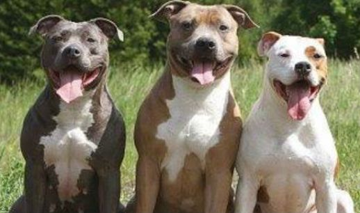 pitbull-three-blog
