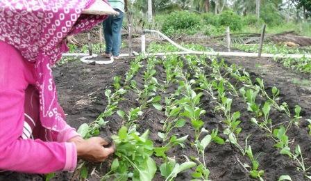 Panduan Budidaya Sawi yang Benar untuk Pemula! | Artikel Pertanian