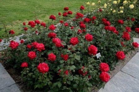 Panduan Cara Budidaya Bunga Mawar Step by Step | Artikel Pertanian
