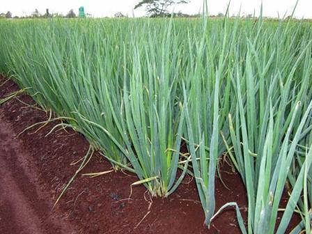 Panduan Cara Menanam Daun Bawang Step by Step | Artikel Pertanian