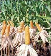 Pertanian: Diversifikasi Pangan Olahan Berbasis Jagung