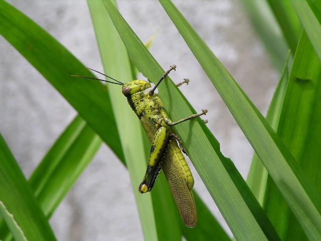 Pertanian: Insektisida Nabati
