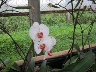 Pertanian: Teknik Persilangan pada Tanaman Anggrek Phalaenopsis