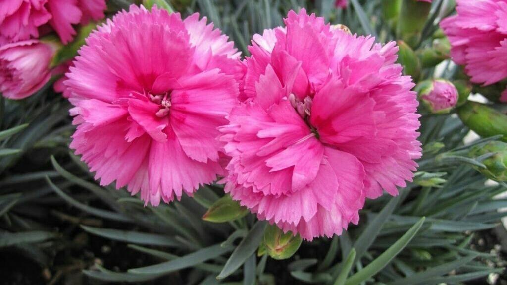 5 Cara Budidaya Bunga Anyelir dan Perawatannya   Artikel Pertanian