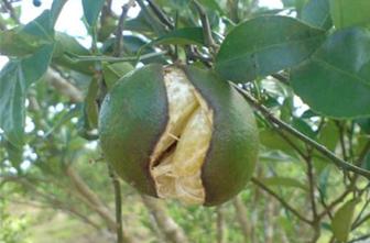 6 Ciri-Ciri Penyakit CVPDPada Tanaman Jeruk yang Harus Diketahui | Artikel Pertanian