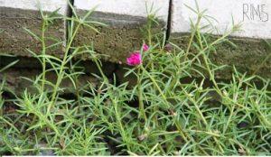 5 Cara Menanam Bunga Jam Sembilan dengan Stek Batang | Artikel Pertanian