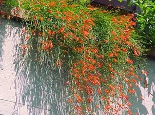 11 Cara Menanam Bunga Air Mancur Yang Mudah dan Sederhana | Artikel Pertanian