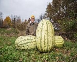 8 Cara Menanam Buah Semangka Ukuran Raksasa | Artikel Pertanian