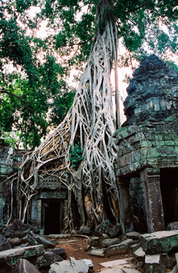 Dripping tree roots run down the side of the Jungle Temple (Ta Prohm) at Angkor Wat Indochina Guides Dien Bien Phu Laos Plain of Jars Angkor Wat Tomb Raider Angelina Jolie Indochina & Mekong Guides Dripping Trees at Jungle Temple 0525 09