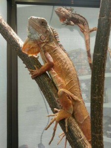 iguana melaka