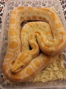 phyton snake