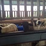 kambing dijual melaka