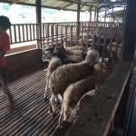 ternakan kambing melaka