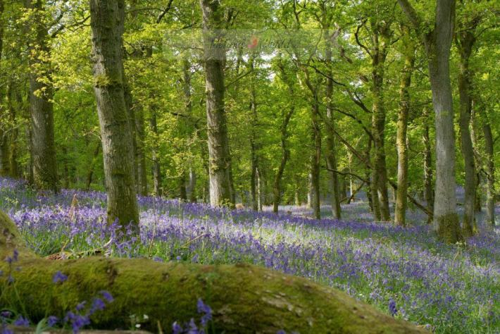 Bluebells, Perthshire, Scotland Travel Guide