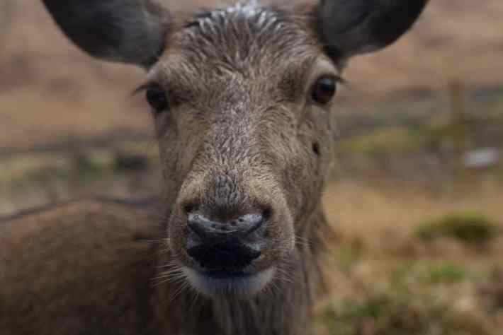 Photo of a red deer doe close up.