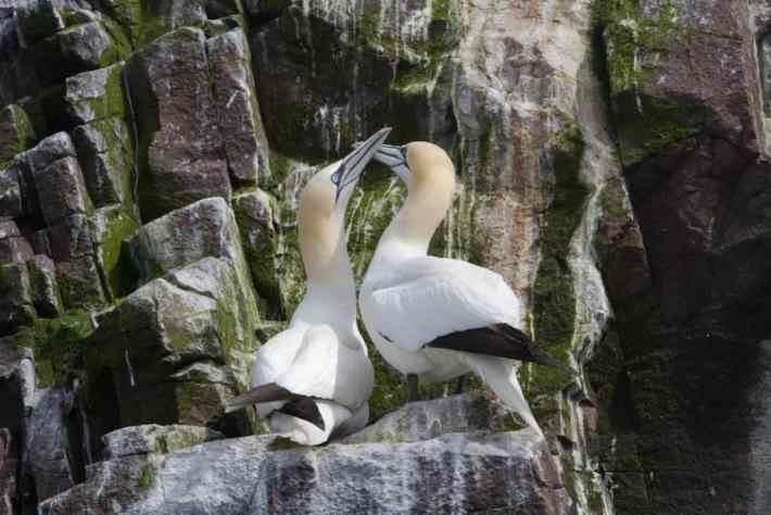 Bass Rock, Scottish Seabird Centre, Scotland