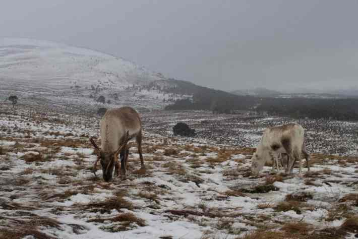 Cairngorm Reindeer Centre. Two reindeer grazing on the snow covered hills in Scotland