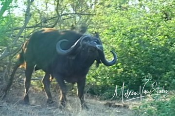 Buffalo charges hunter, the best cape buffalo charge ever