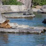 Seelöwen und Taucher
