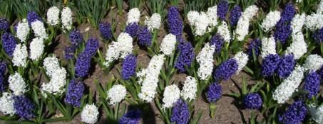 White and Purple Hyacinths