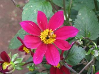 Bee sitting on the Dahlia