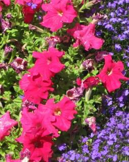 Wild Petunia Red Flowers