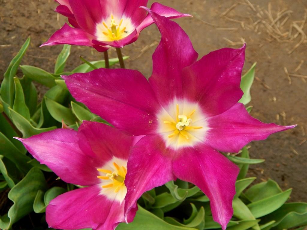 woodburn-tulip-festival-26