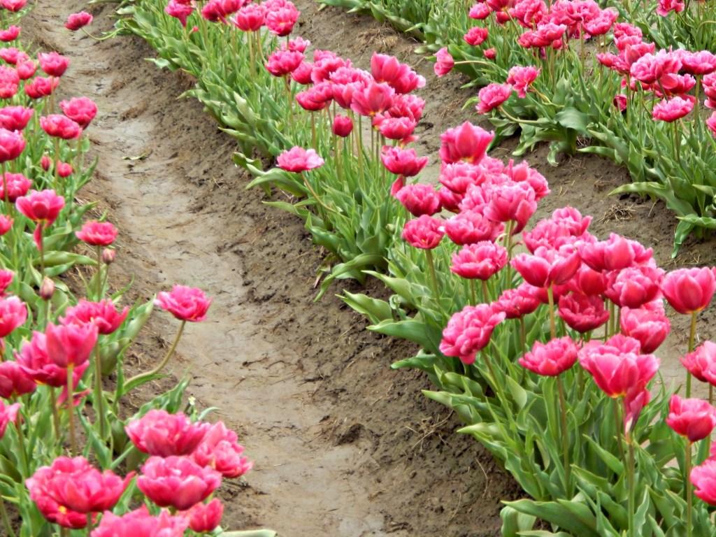 woodburn-tulip-festival-28
