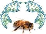 Γονιδιωματική μελέτη αποδίδει μια πιθανή αιτία του συνδρόμου κατάρρευσης των μελισσών