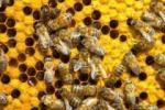 Γενετική μελέτη ρίχνει φως στην κοινωνική ζωή των μελισσών