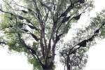 Το δέντρο που αγαπούν οι μέλισσες