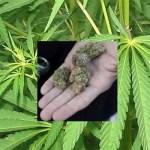 Cronaca, Napoli: ragazzo arrestato per piantagione di marijuana nel Parco dei Camaldoli