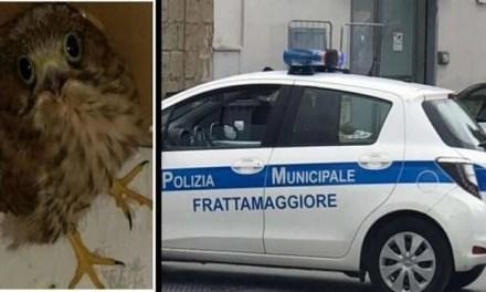 Frattamaggiore. Falchetto ferito salvato dalla Polizia Locale