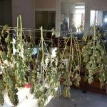 Cronaca, Calvizzano. Coltiva marijuana per hobby: arrestato