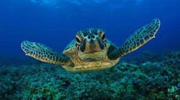 Napoli: tartaruga salvata da due velisti