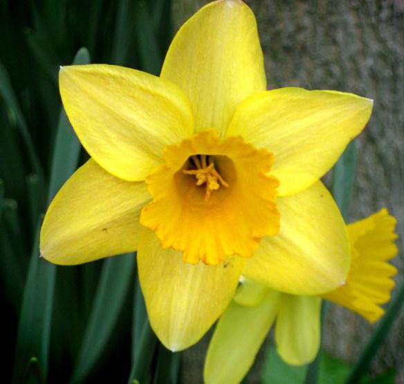 The First Stirrings - Daffodil