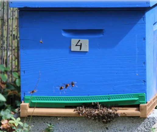Four Asian hornets in front of a hive are petrifying the colony...