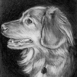 "Timber, 2012, Nova Scotia Duck Tolling Retriever Portrait, Graphite Pencil Drawing on Paper, 4""x6"""