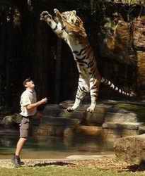 pouncing tiger